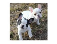 Gorgeous French bulldog puppies fo...