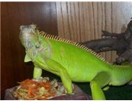 Iguanas Bearded Dragons Cages (Re...