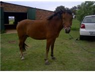 Super pony for sale Mpumalanga North