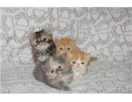 Male & Female Persian in Cats & Kittens For Sale KwaZulu-Natal Vryheid - South Africa