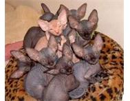 8 weeks Beautiful Sphynx Kittens For Sale Cape Town