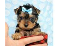 Exquisite smallest Yorkie Pups READY NOW! Cape town