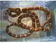 Crimson Corn Snake Pair