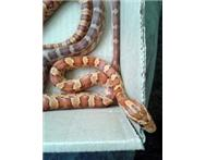 CornSnake Yearling