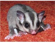 Baby sugar gliders for sale