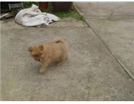 CHOW CROSS PUPS FOR SALE