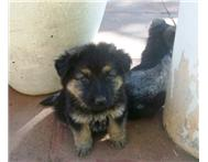 Adorable german shepherd puppies for sale!