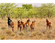 Sable Calves in Game For Sale Limpopo Rust de Winter - South Africa