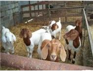 sustainable boer goats for sale