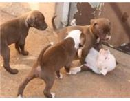 Beautifull Pit bull Puppies for Sale