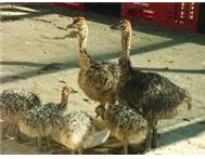 Fertile Ostrich chicks and fresh fertilized eggs