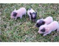 Micro Mini Tea-Cup Piglets For Sale