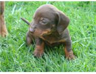 Miniature Dachshund Puppies