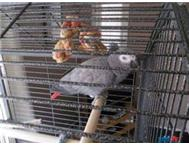 CONGO AFRICAN GREY WITH FREE CAGE AND FEEDING BOWLS
