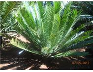Piet Retief Cycad for sale.