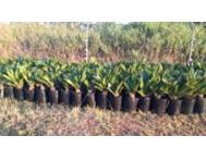CYCAS REVOLUTA PLANTS FOR SALE! Tzaneen
