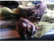 sugar glider pair for sale