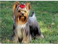 Yorkshire Terrier Puppies Benoni